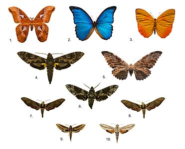 Brazilians butterfly collection, Zoology Museum, University of São Paulo