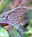 Bright Babul Blue Azanus ubaldus by Dr. Raju Kasambe Sept 2011 (3).jpg