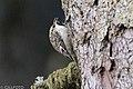 Brown Creeper 357 (38726393095).jpg