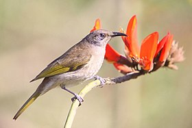 Brown Honeyeater Coral Tree rev.jpg