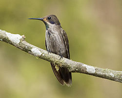 Brown Violet-ear (Colibri delphinae) (20089200003).jpg