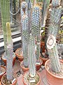 Browningia hertlingiana - University of California Botanical Garden - DSC08848.JPG