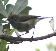 Brownthornbill.jpg