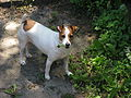 Jack Russell Barking At Other Dogs