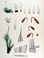 Bryum intermedium — Flora Batava — Volume v17.jpg