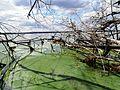 Brzeg jeziora Charzykowskiego.JPG