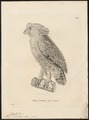 Bubo orientalis - 1700-1880 - Print - Iconographia Zoologica - Special Collections University of Amsterdam - UBA01 IZ18400093.tif