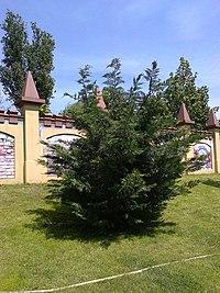 Bucuresti, Romania. Arbust in luna Mai 2019.jpg