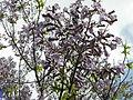 Bucuresti, Romania. Copacul Violet (5).JPG
