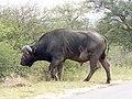 Buffalo (393188751).jpg