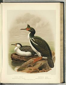 Lithographic illustration of a Pied Cormorant sitting next to a Rough-faced Shag