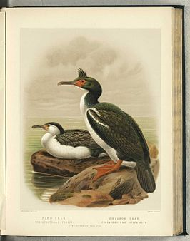 Illustratie van John Gerrard Keulemans uit A History of the Birds of New Zealand. 2nd edition. 1888.