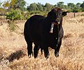 Bull chewing bone 5.jpg