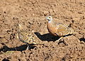 Burchell's sandgrouse, Pterocles burchelli, at Mapungubwe National Park, Limpopo, South Africa (17791135870).jpg