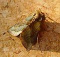 Burnished Brass. Diachrysia chrysitis - Flickr - gailhampshire (5).jpg