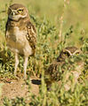 Burrowing Owl Chicks (4818820103).jpg