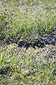 Burrowing owl, Marco Island, Florida - panoramio (7).jpg