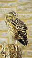 Burrowing owl (Athene cunicularia) (3).jpg