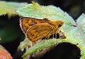 Bush hopper - Ampittia dioscorides 3.JPG