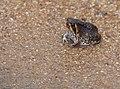 Bushveld Rain Frog (Breviceps adspersus) (12054760253).jpg