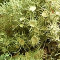 Bushy Beard Lichen (1048372985).jpg