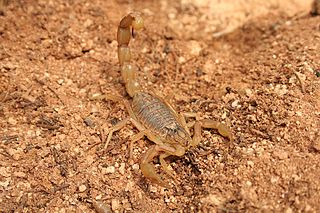 <i>Buthus</i> Genus of arachnids