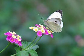 Butterfly Cabbage White - Pieris brassicae 01.jpg