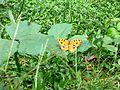 Butterfly of Bangladesh 11.jpg