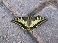 Butterflyfatha.jpg