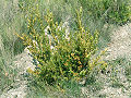 Buxus sempervirens0.jpg
