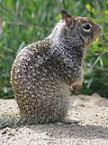 CA Ground Squirrel on hind legs.jpg