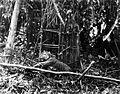 COLLECTIE TROPENMUSEUM Een in een klem gevangen Sumatraanse tijger TMnr 60038096.jpg