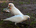 Cacatua tenuirostris -two in Sydney -Australia-6.jpg