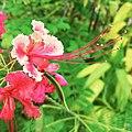 Caesalpinia pulcherrima, flower.jpg