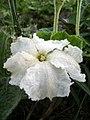 Calabash flower 1.jpg