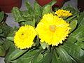 Calendula officinalis-plants-yercaud-salem-India.JPG