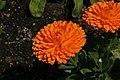 Calendula officinalis Bon Bon Orange 2zz.jpg