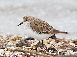 Red-necked stint standing
