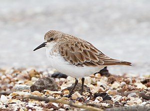 Swan Bay and Port Phillip Bay Islands Important Bird Area - The area is important for red-necked stints...