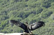 Immature California condor