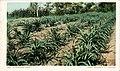 California - A Pineapple Field (NBY 431702).jpg