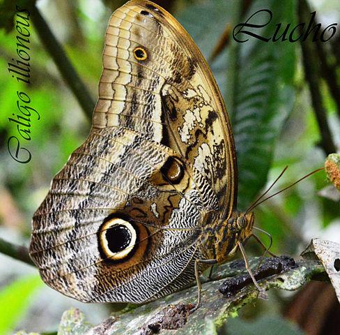 Bộ sưu tập cánh vẩy 6 - Page 2 488px-Caligo_illioneus_lepidoptero