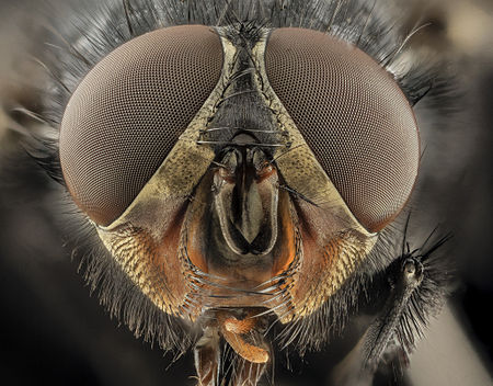 Calliphora vicina, u, Face, DC 2014-04-24 -17.46.02 ZS PMax - USGS Bee Inventory and Monitoring Laboratory.jpg