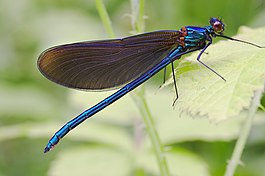 Calopteryx virgo male.jpg