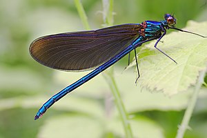 Male juvenile imago of Calopteryx virgo.