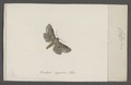 Calpe - Print - Iconographia Zoologica - Special Collections University of Amsterdam - UBAINV0274 057 15 0002.tif