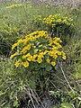Caltha palustris Marsh-marigold kingcup (bekkeblom soleihov) wetland brook (våtmark bekk) Pirane, Hvasser, Oslofjorden, Norway 2021-05-14 IMG 9876.jpg