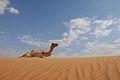 Camel on a sand dune (3679335104).jpg