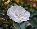 Camellia × williamsii 'Jury's Yellow'. 31-03-2020 (d.j.b.) 05.jpg