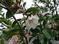 Camellia sasanqua (8386920489).jpg